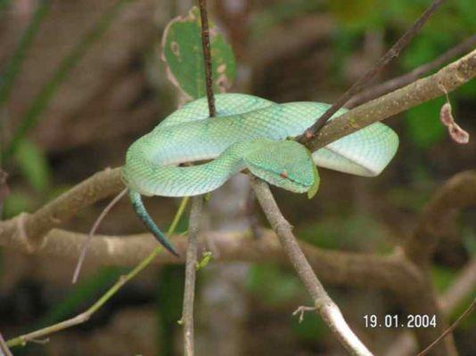 Viper im Bako Nationalpark auf Borneo
