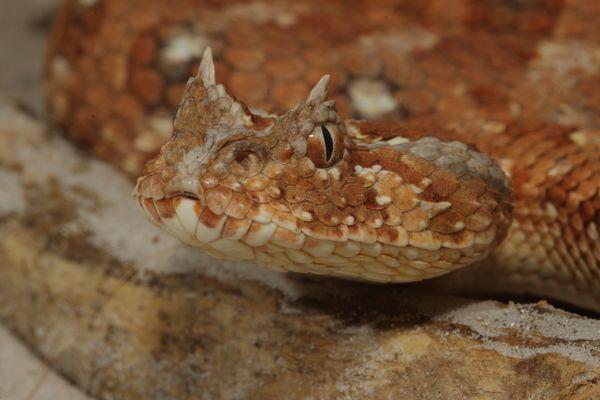 Vipère cornue du Sahara