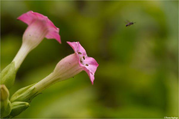 Virginischer Tabak (Nicotiana tabacum)