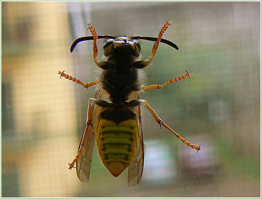 Vitino di vespa