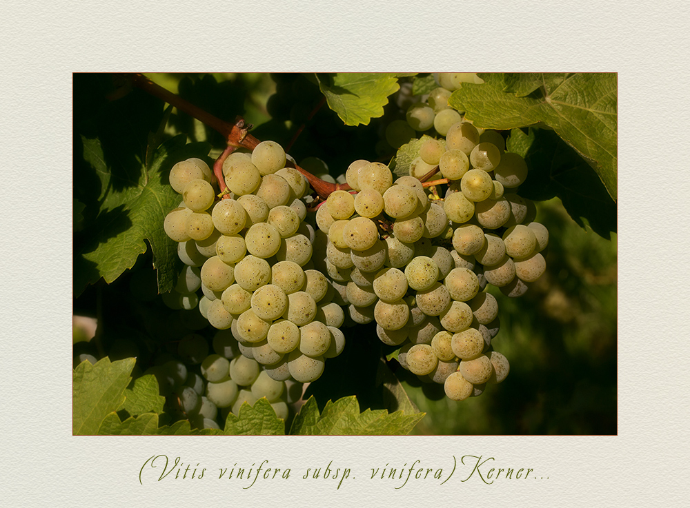 Vitis vinifera L. subsp. vinifera - Weintrauben....