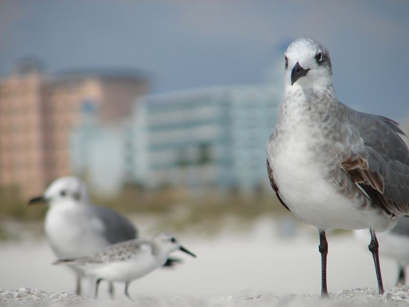 Vögel am Clearwater Beach