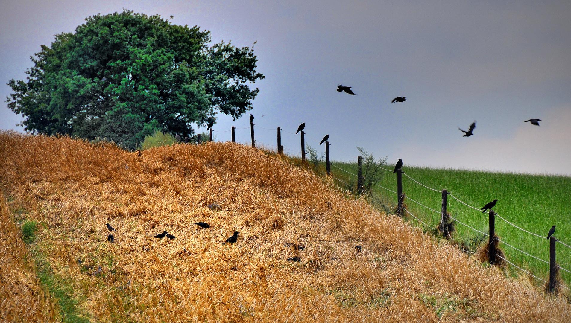 Vögel auf dem Feld