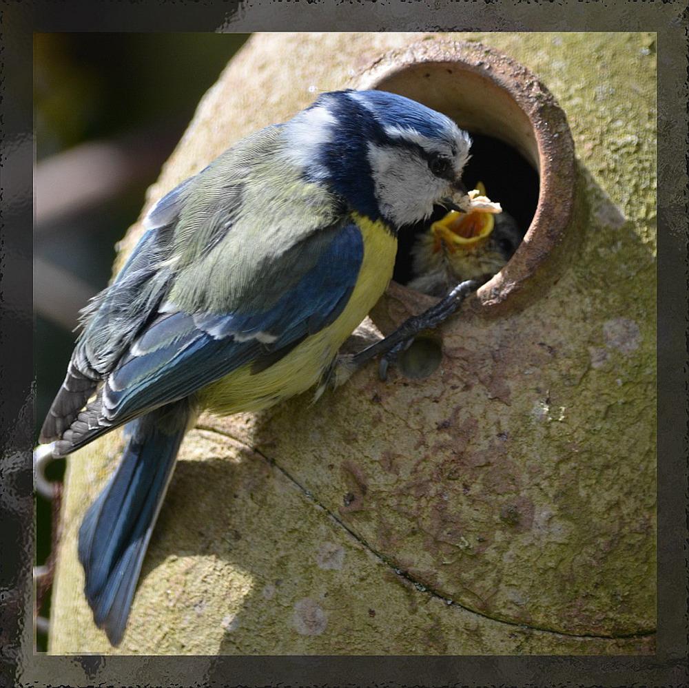 Vögel-Ei, ausgewachsen