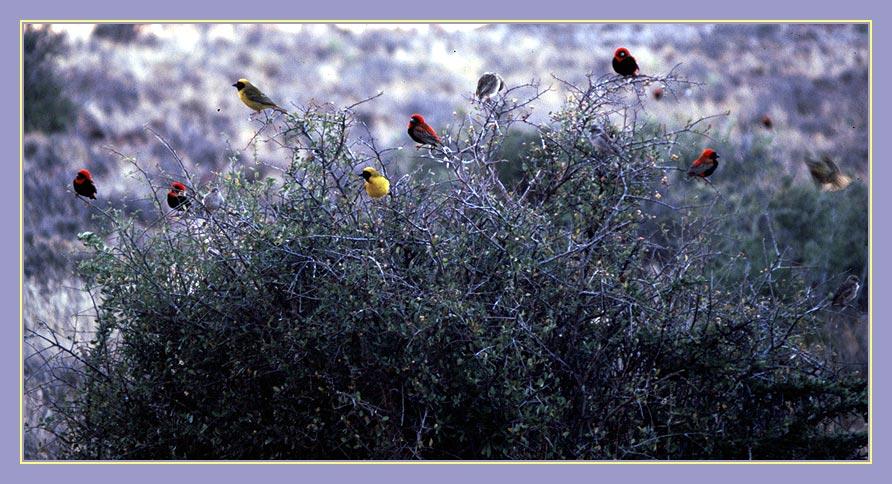 Vögel im Karroo Nationalpark - Südafrika -