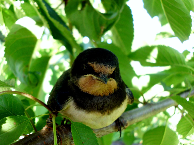 Vögel im Kirschbaum..