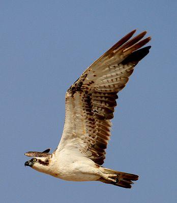 Vogel Ägypten