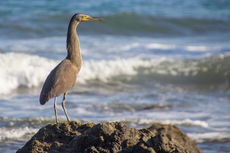Vogel am Pazific (Costa Rica)