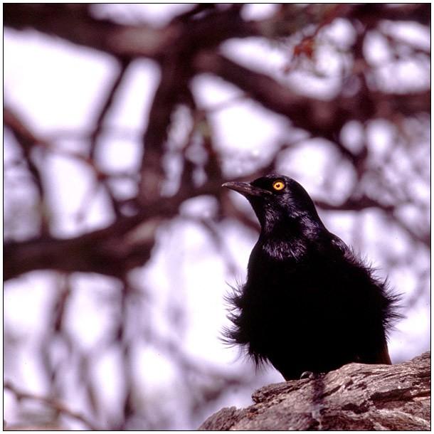 Vogel an der Blutkuppe (3.3)