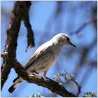Vogel an der Blutkuppe, Namibia