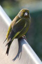 Vogel auf dem Blechdach