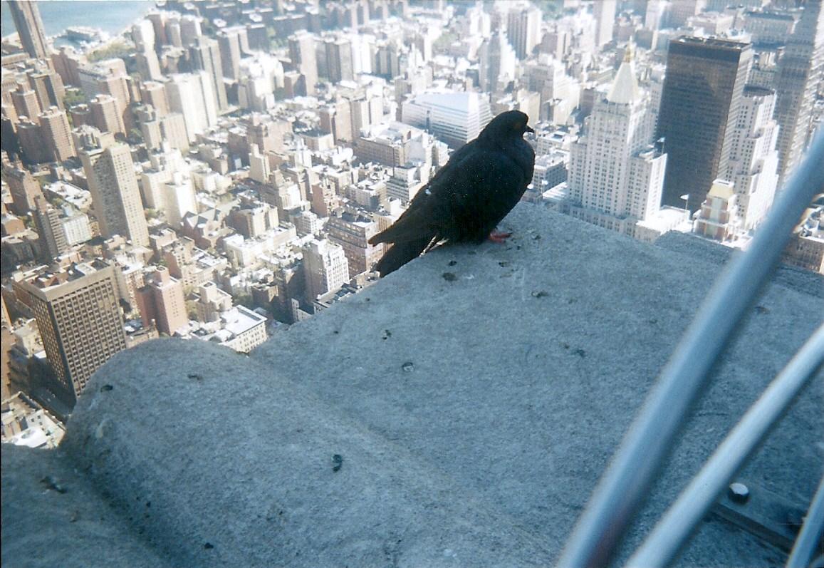 Vogel auf dem Empire State Building 2000