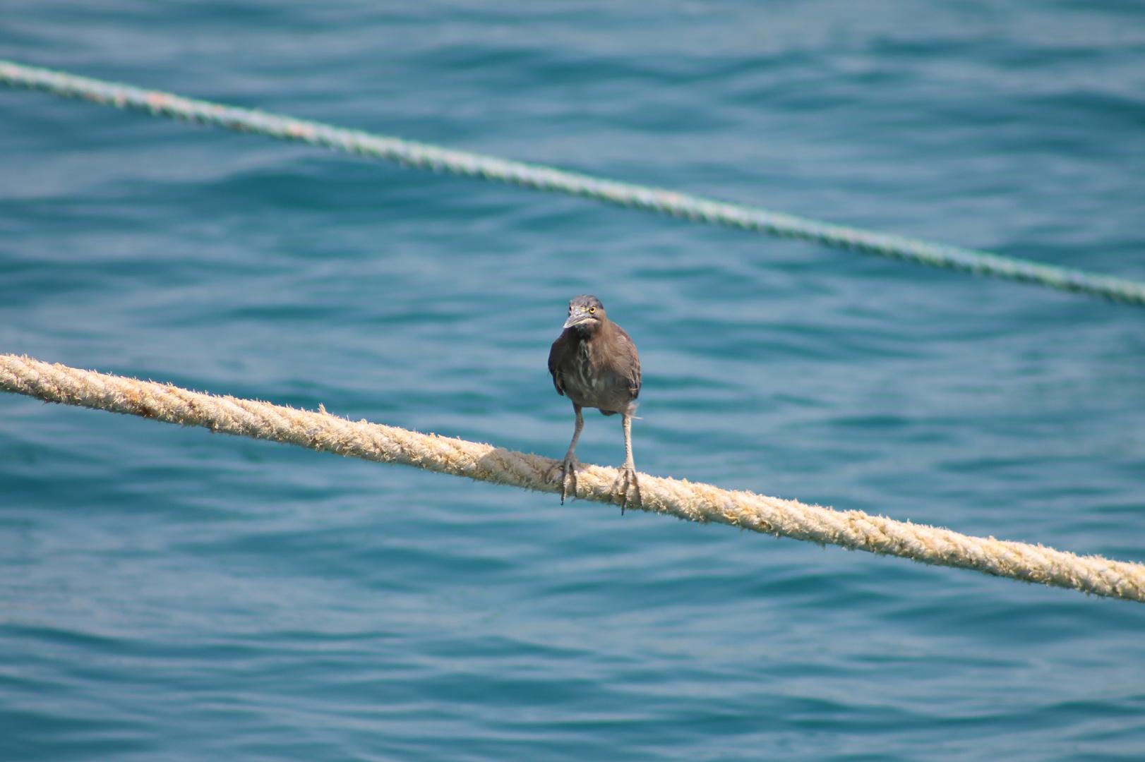 Vogel auf dem Seil