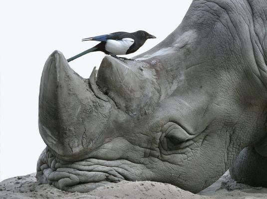 Vogel auf Nashorn
