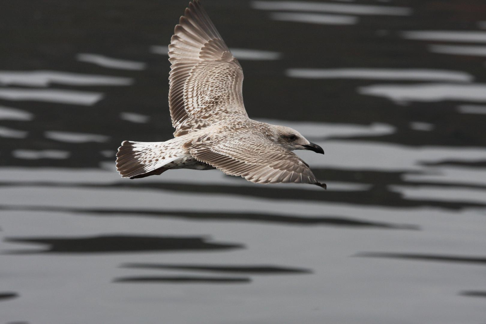 Vogel bei Fort William/Schottland
