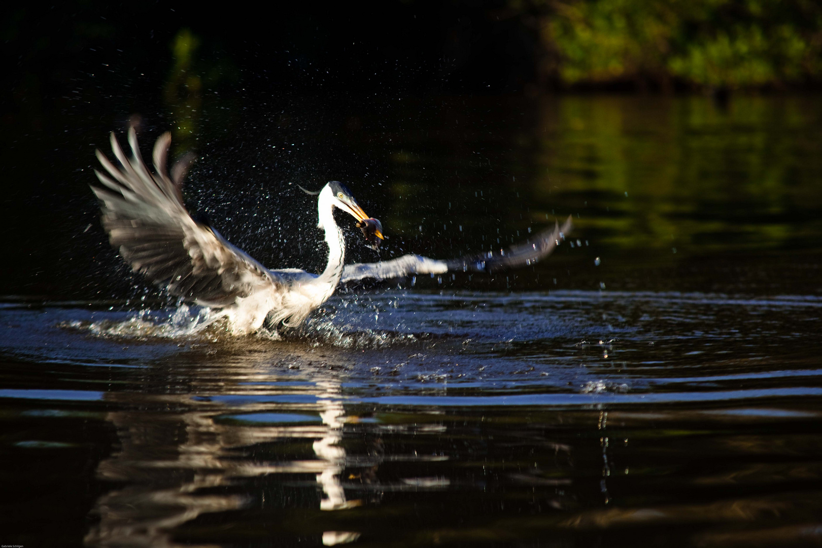 Vogel beim Fischfang im Pantanal