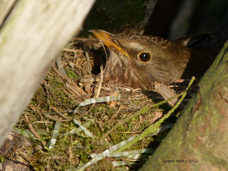Vogel brütet im Nest