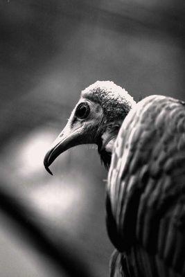 Vogel-Geier-02