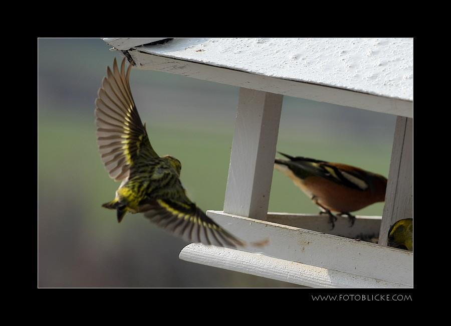 Vogel Haus Treiben #1 Anflug