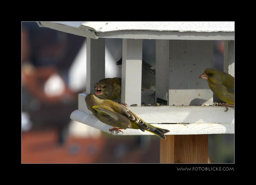 Vogel Haus Treiben #16 Zoff