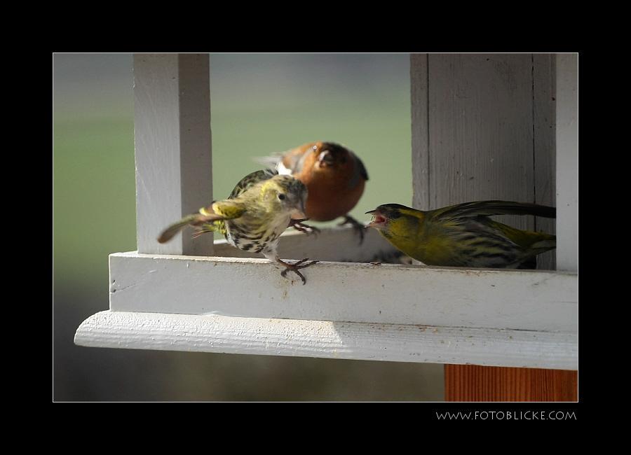 Vogel Haus Treiben #3 Zoff