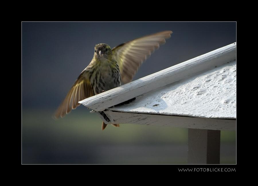 Vogel Haus Treiben #4 Flucht