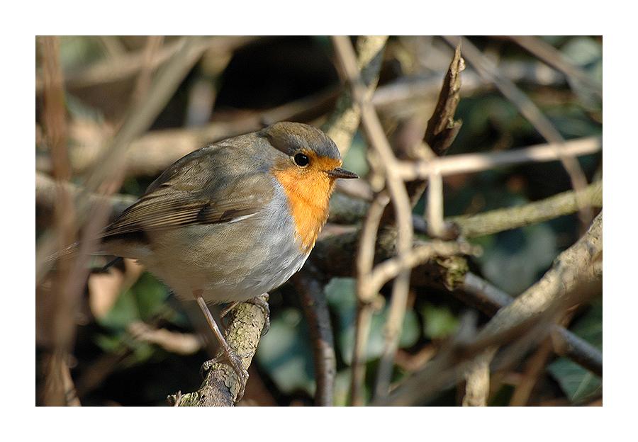 Vogel im Dickicht