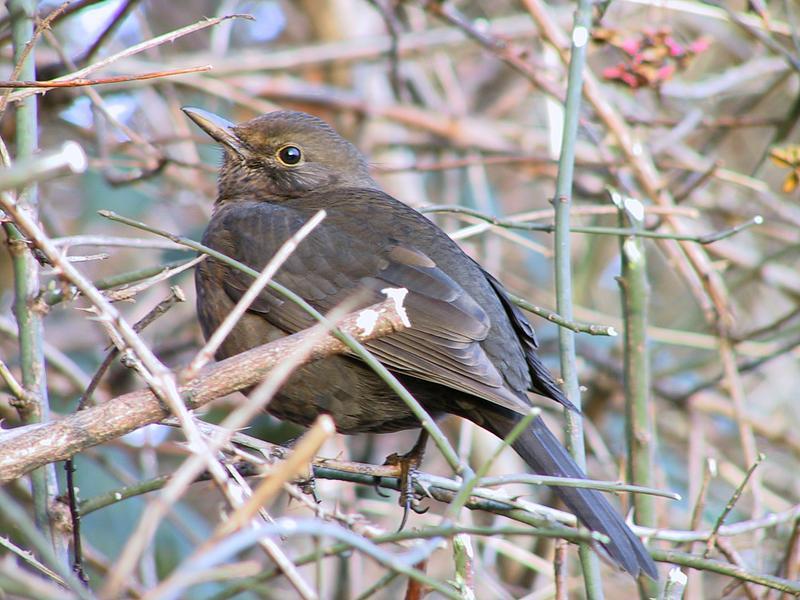 Vogel im Dornbusch