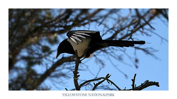 Vogel im Yellowstone Nationalpark, USA