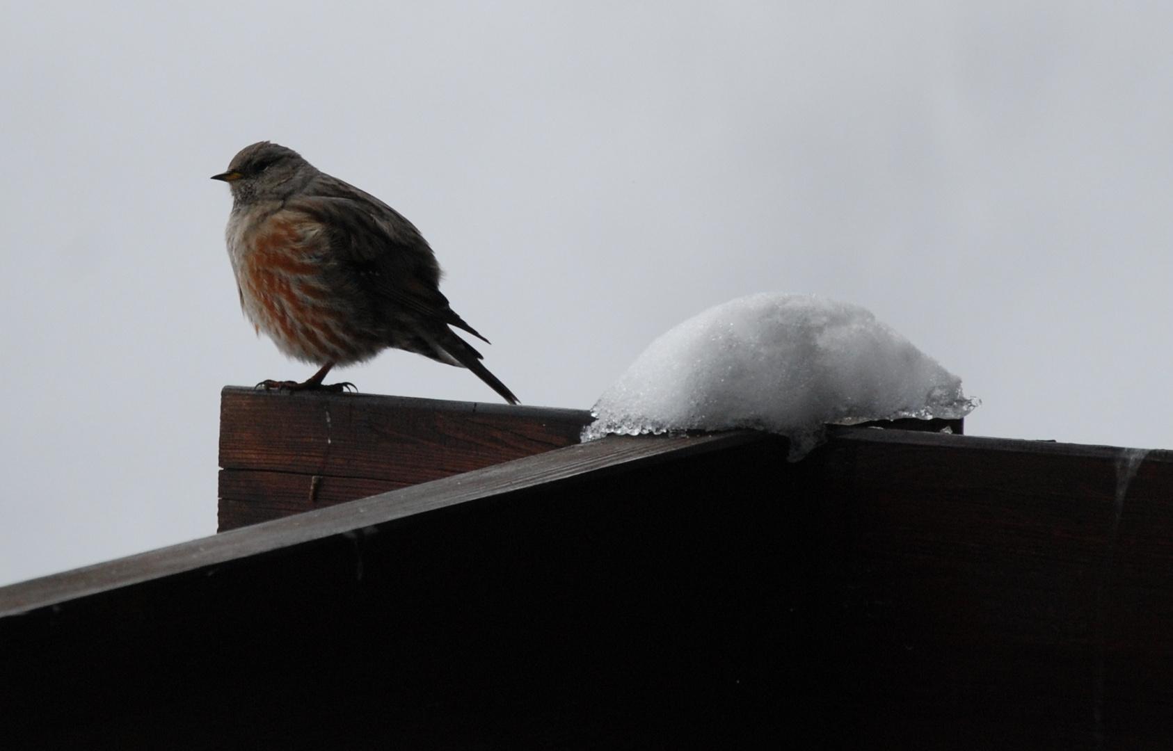 Vogel in der Riederalp