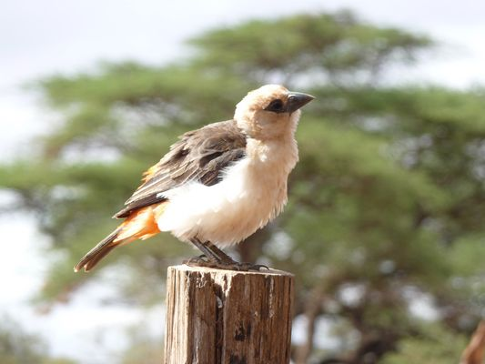 Vogel in Kenia