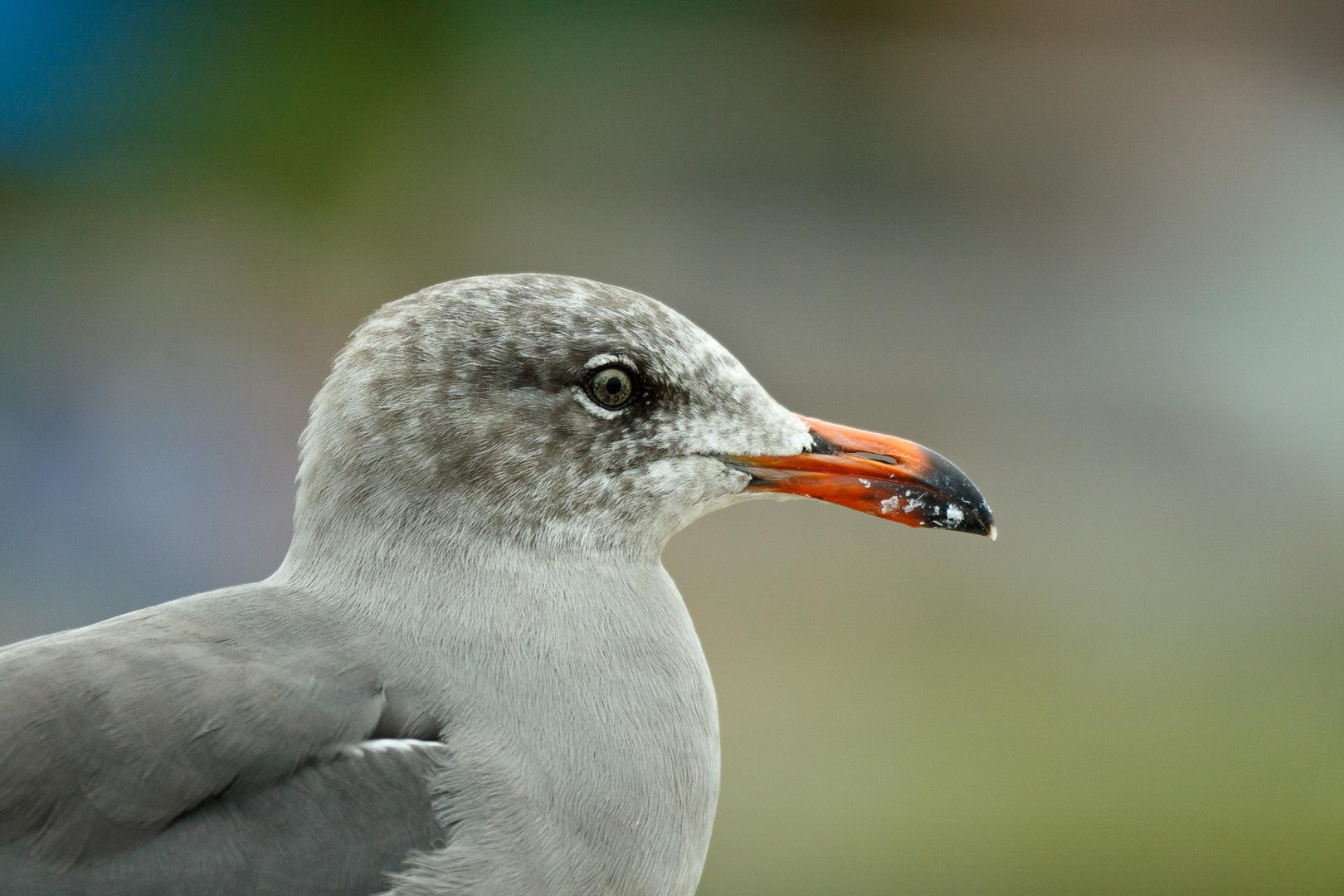 Vogel in La Jolla (San Diego)