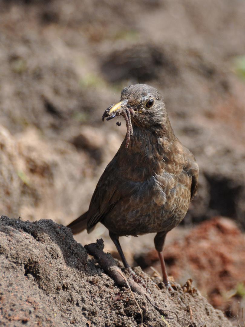 Vogel mit Würmern