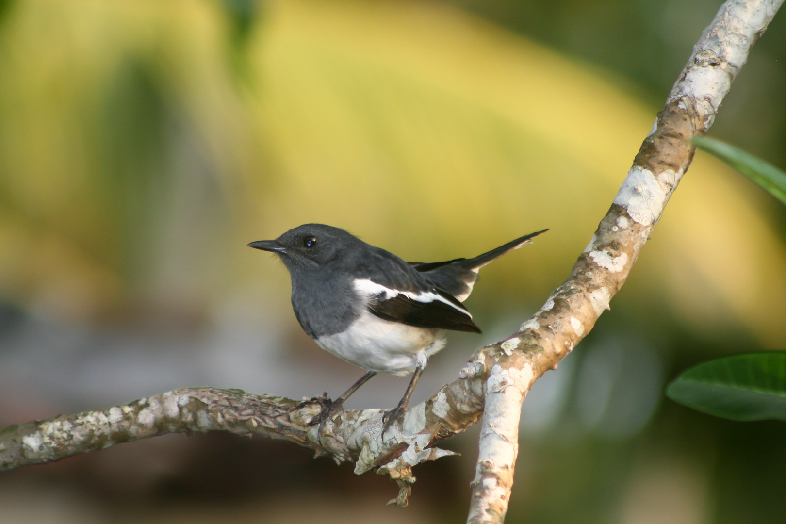Vogel Schwarz/Weiß