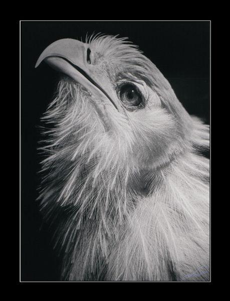 Vogel, Sekretaer, Secretery Bird