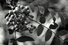 Vogelbeeren-Zweig