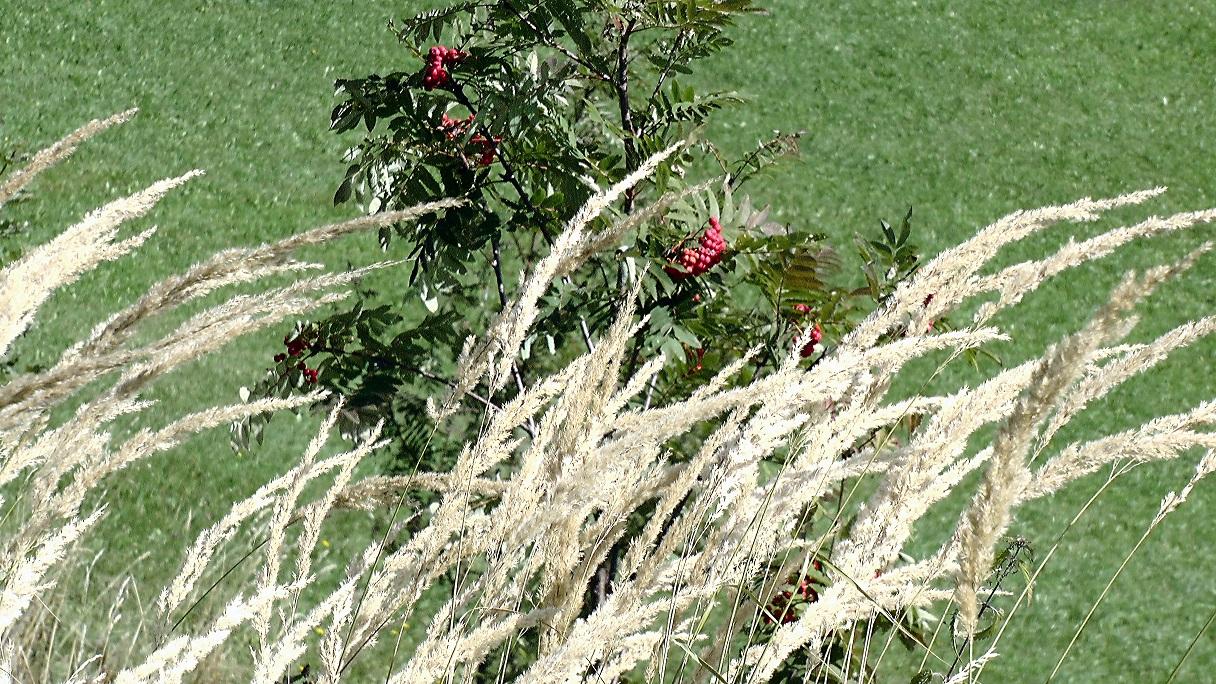 Vogelbeerstrauch hinter Grashalme