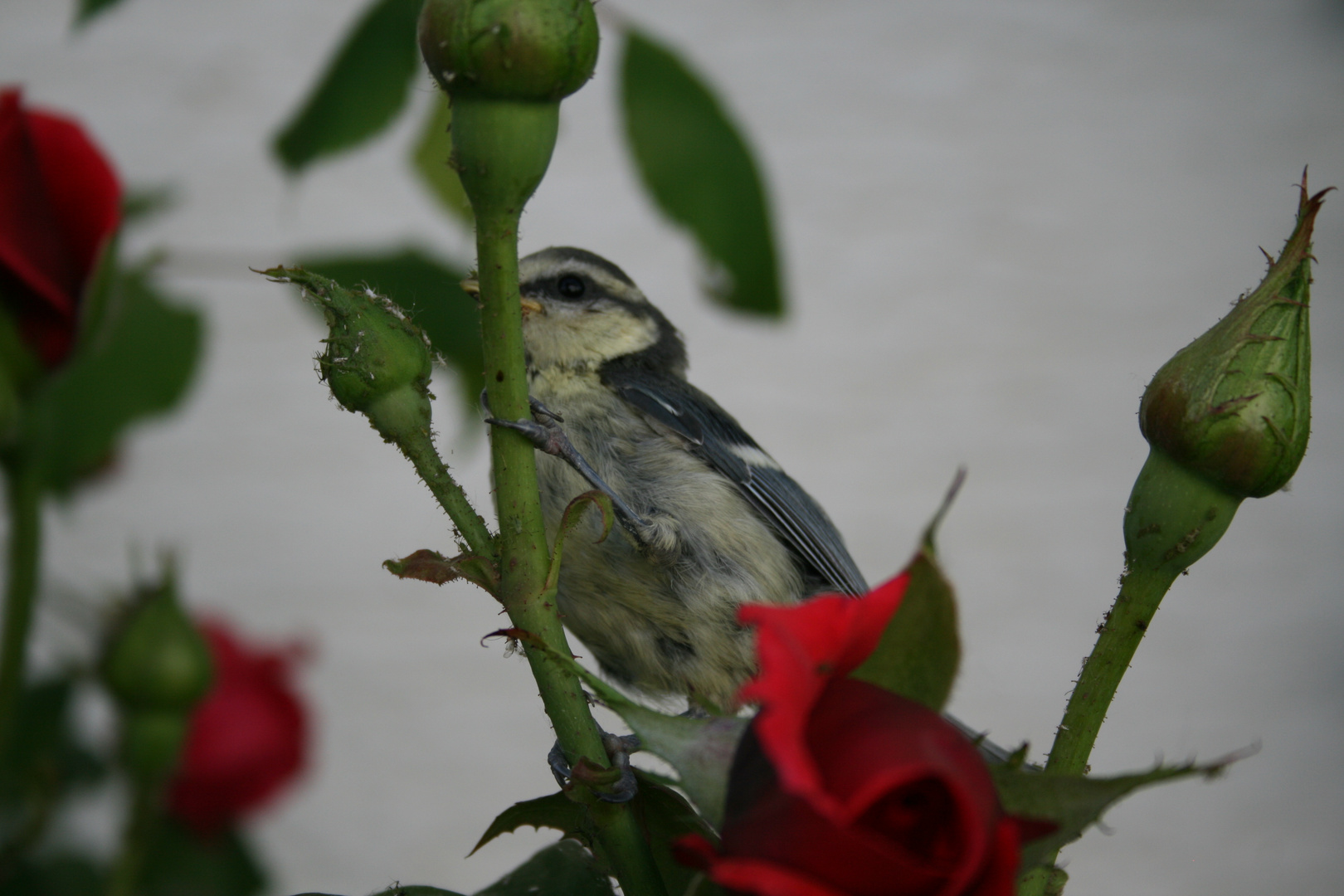 Vogelfestmahl