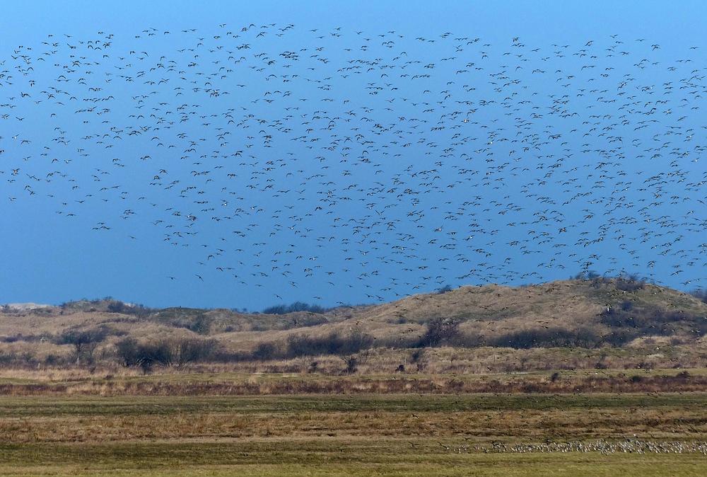 Vogelmassen auf Borkum