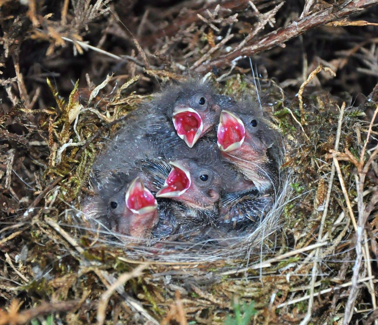Vogelnest - Hunger