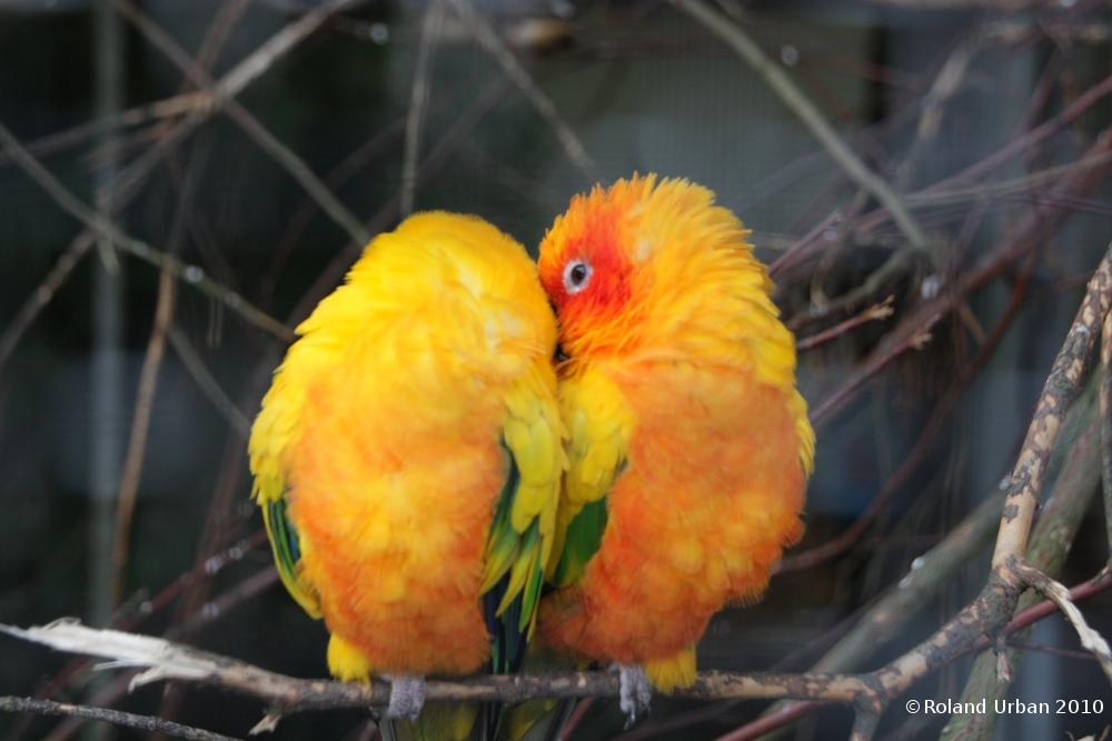 Vogelpaar beim Kuscheln