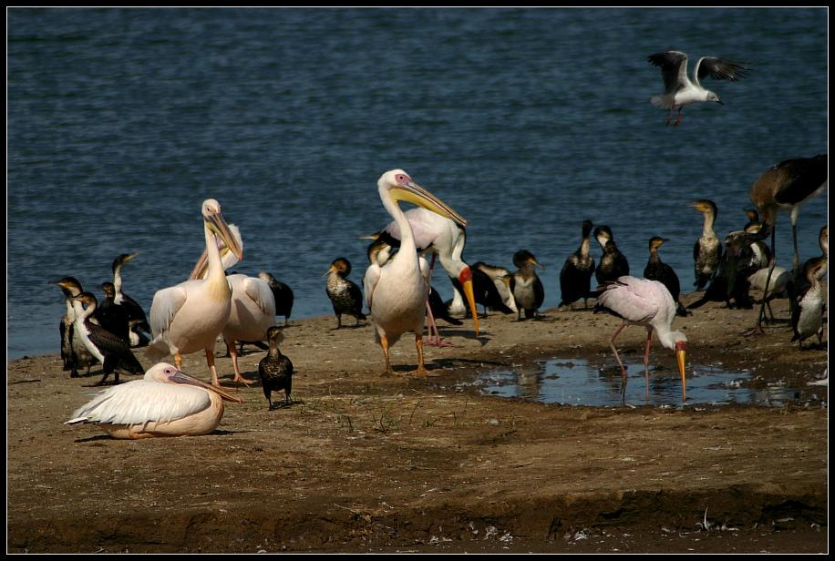 Vogelschar im Queen Elizabeth NP, Uganda