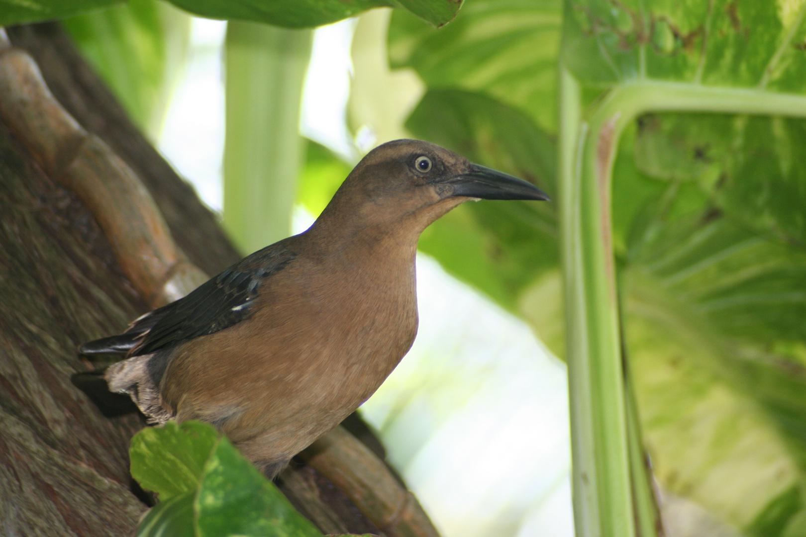 Vogelschönheit in der Karibik