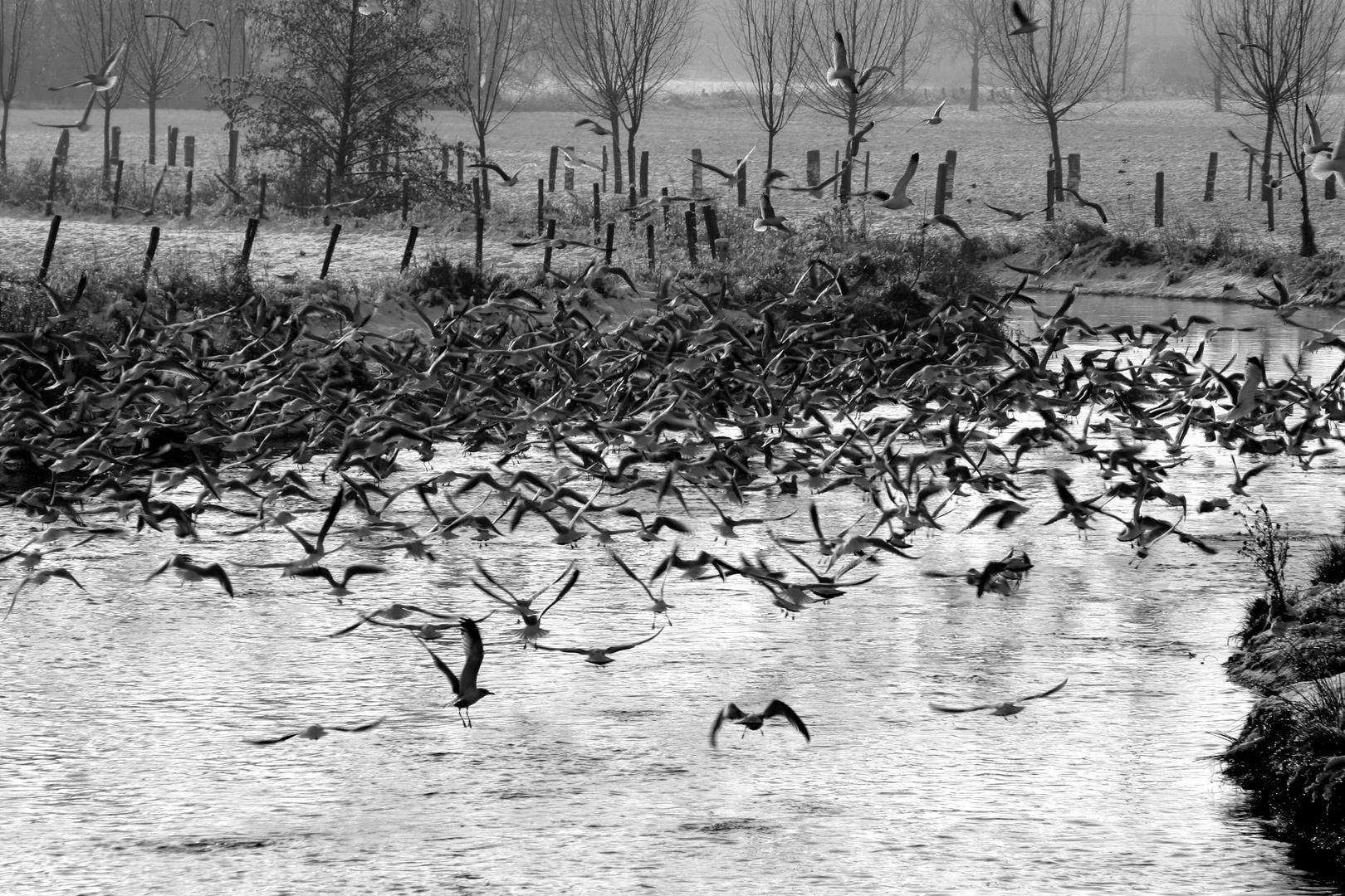 Vogelschwarm auf der Niers
