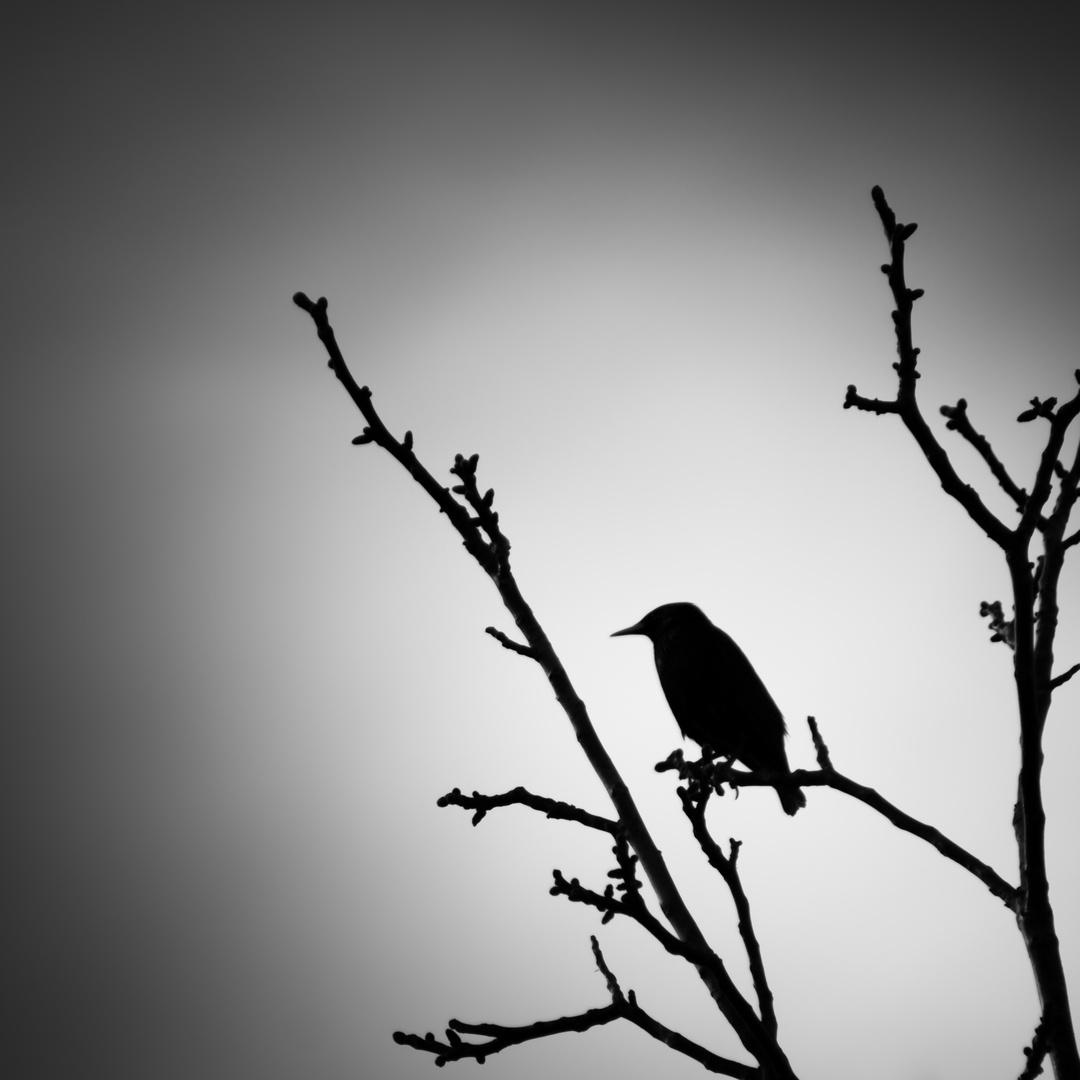 Vogelsilhouette