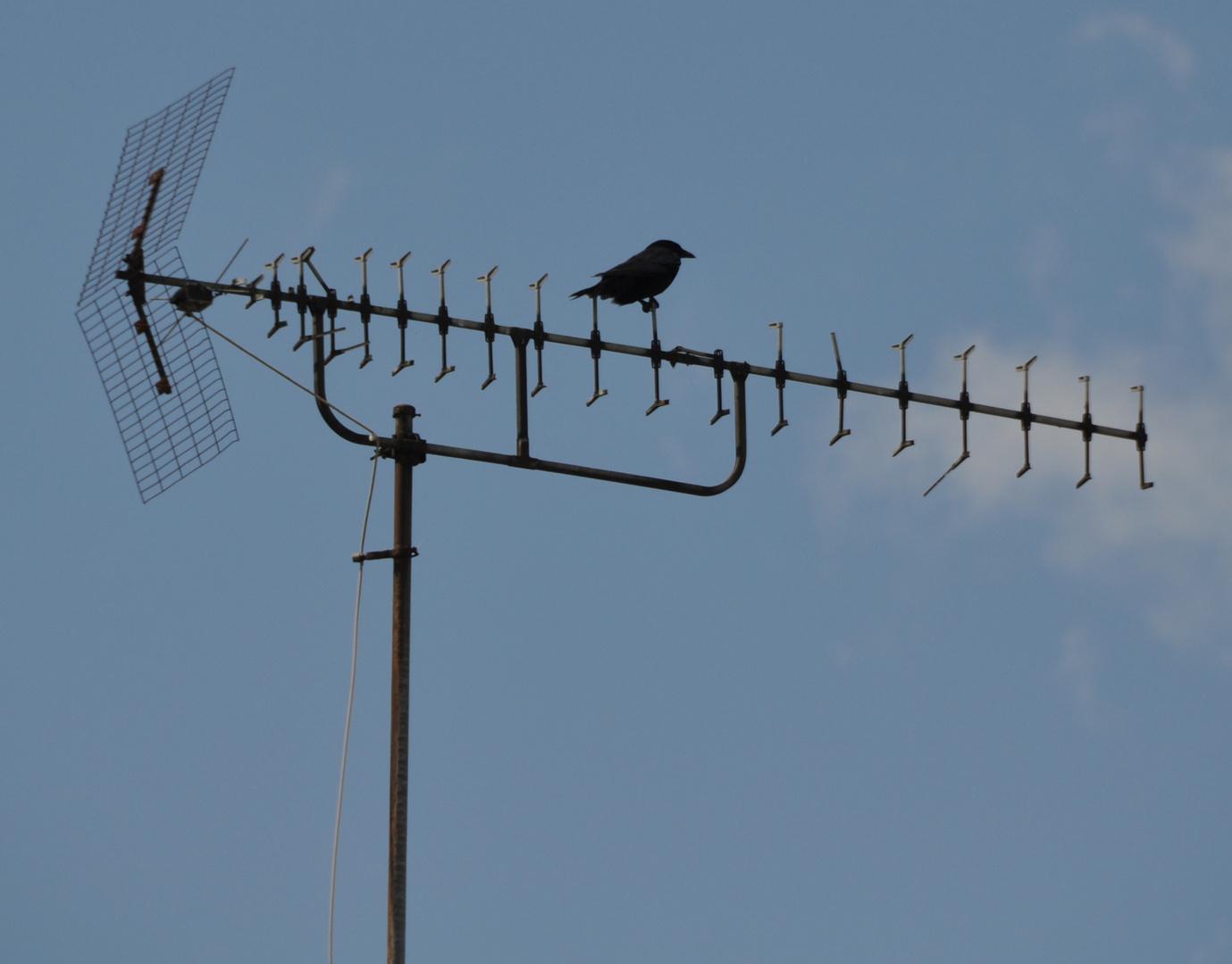 Vogelstimmen von der Antenne