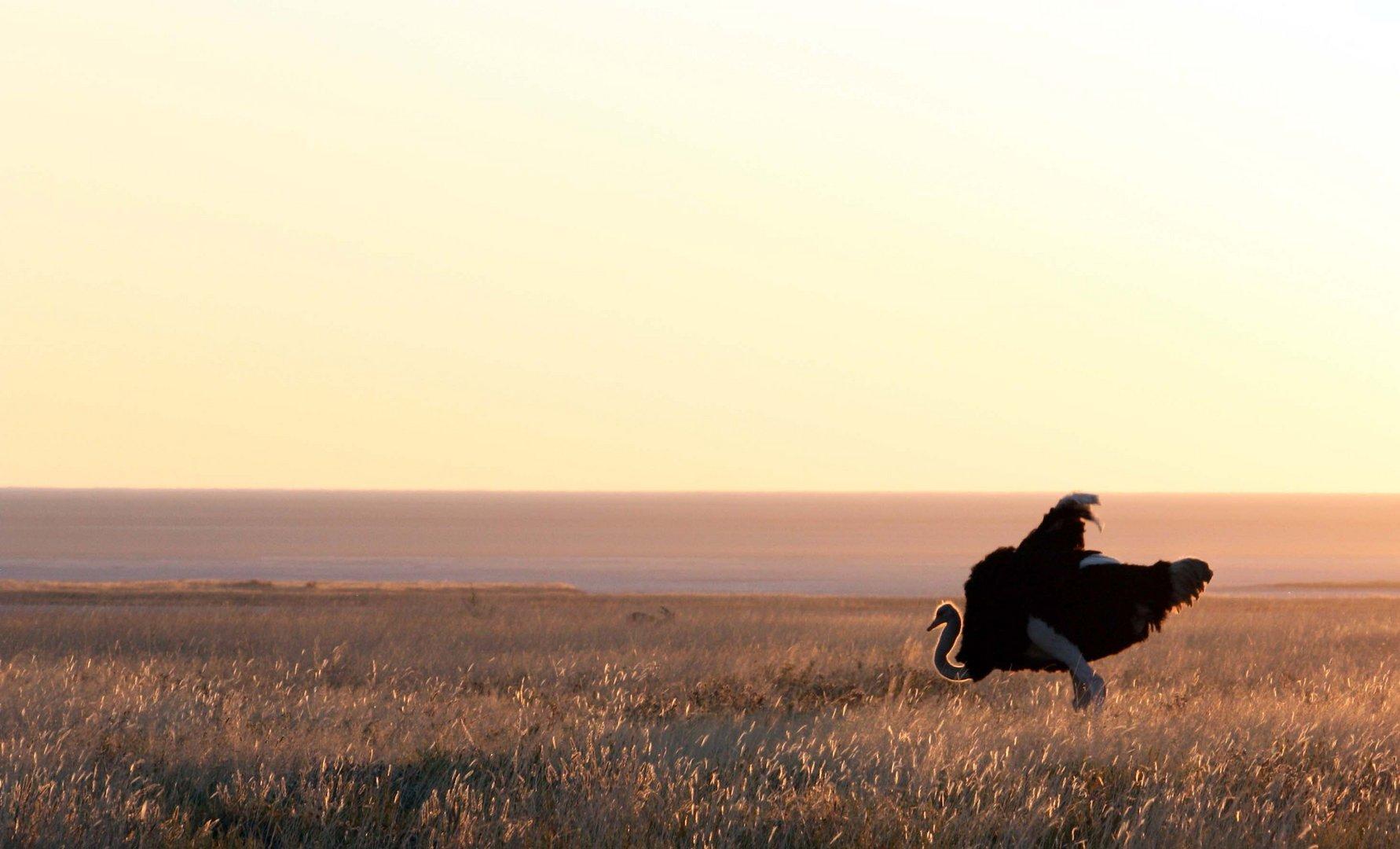 Vogelstrauß in der Abendsonne Namibias