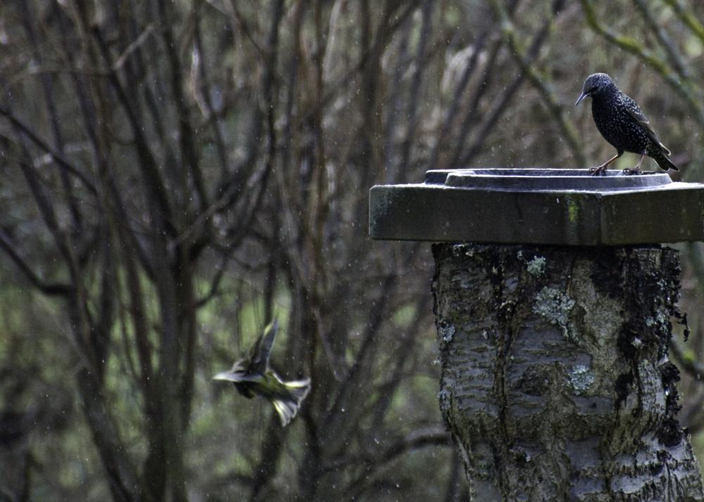 Vogelwäsche