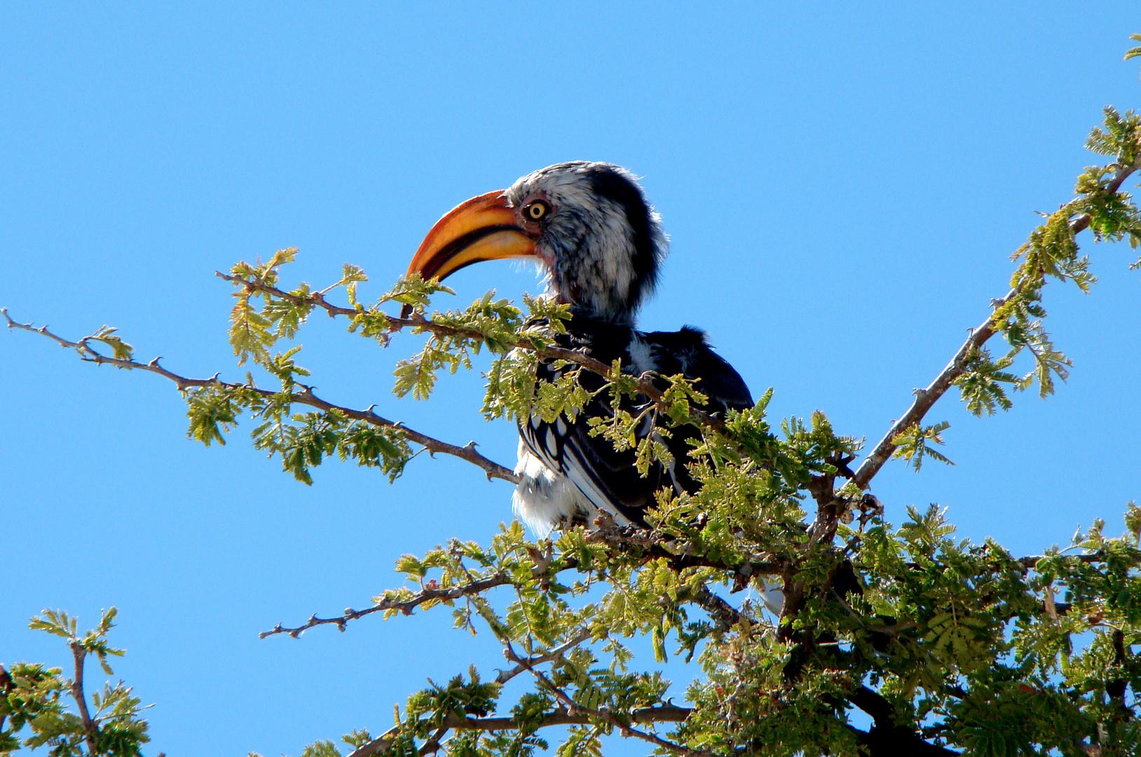Vogelwelt-Etosha-Toko-Vogel
