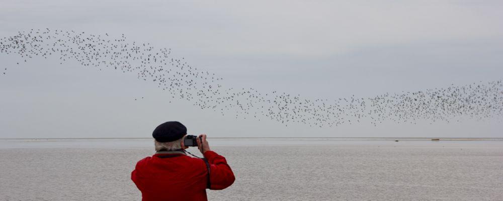 Vogelzug-Seminar Westerhever -- Knutt-Schwarm über dem Watt